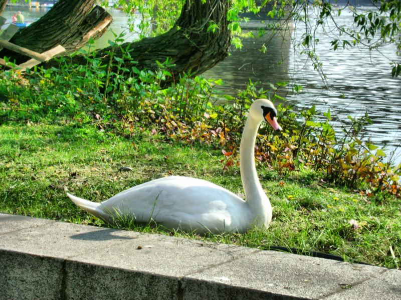Лебедь на берегу Влтавы