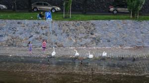 Девочка кормил лебедей на Влтаве